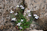 Malcolmia flexuosa